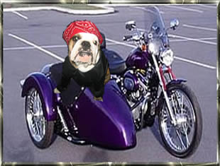 bull dog in a side car