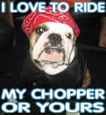 bull dog likes choppers