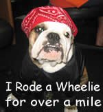 bull dog rides wheelies